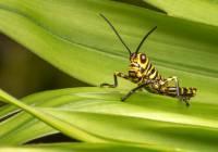 Tiger Grasshopper