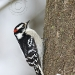 downy-woodpecker.jpg