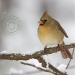 northern-cardinal-female.jpg
