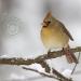 northern-cardinal-female.jpg