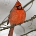 nothern-cardinal-male-2.jpg