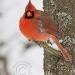 nothern-cardinal-male.jpg