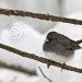 nothern-junco.jpg