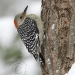 red-bellied-woodpecker-2.jpg