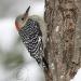 red-bellied-woodpecker-2.jpg