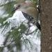red-bellied-woodpecker.jpg