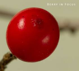 berry-in-focus-small