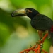 Collared Aracari with Fruit