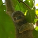 Three-toed Sloth baby