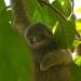 Three-toed Sloth baby