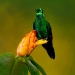 Green-crowned Brilliant on flower