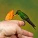 Green-crowned Brilliant on finger