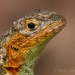 web-Lava Lizard