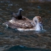 Pelican with Brown Noddy