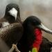 Magnificent Frigate Bird Pair