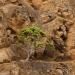 Galapagos Tree Daisy