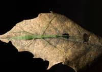 Green Stick Insect_R4A1854