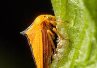 Treehopper guarding eggs
