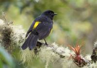 Black and Yellow Silky Flycatcher