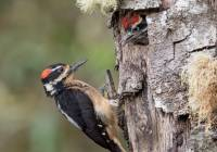 Hairy Woodpecker and chick