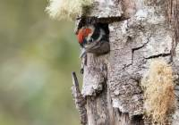 Hairy Woodpecker chick