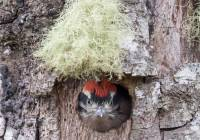 Hairy Woodpecker chick in nest cavity
