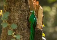 Resplendant Quetzal_MG_6295