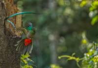 Resplendant Quetzal_MG_6316