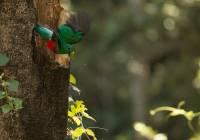 Resplendant Quetzal_MG_6318