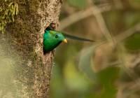 Resplendant Quetzal_MG_6349