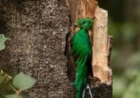 Resplendant Quetzal_MG_6528