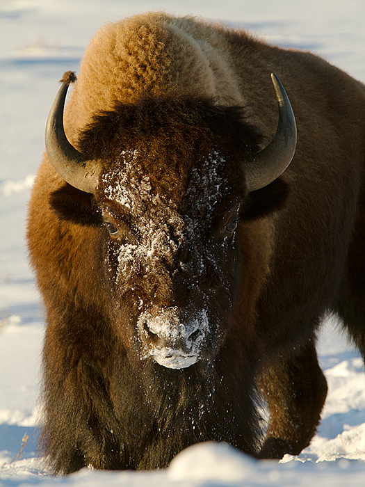 Yellowstone National Park in WinterPart 2