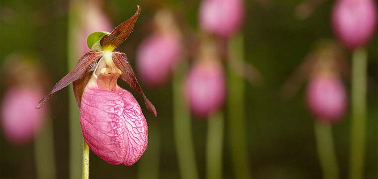 In The Yard — Pink Lady Slippers